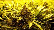 post-image-Global Business: Colorado's Big Marijuana Experiment