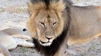 人気ライオン射殺の歯科医を不起訴に=ジンバブエ環境相
