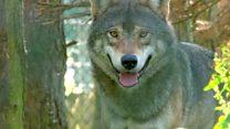 欧州のオオカミ、絶滅と繁殖の微妙なバランス