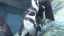 Arthritic penguin arrives at new home
