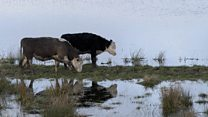 Flooded farmer: 'We found one cow on a golf course'