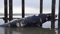 Dead whale on beach 'hit by ship'
