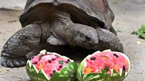 Giant tortoise's diet gives him new lease of life