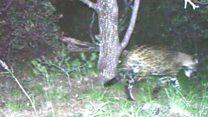 US jaguar filmed on camera