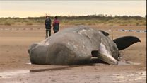 Why are so many sperm whales dying?