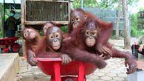 Preparing orangutans for the wild