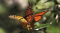 5000キロ移動して越冬する蝶 個体数増を確認