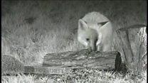 Fox and hedgehog feeding together