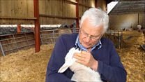 Farmer saves lamb with kiss of life
