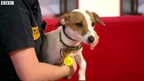 飼い犬へのチップ埋め込み 英国で義務化