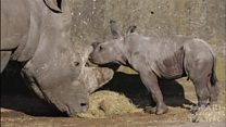 Baby Rhino takes first steps