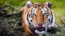 野生のトラの数が少し回復 しかし危険はまだ
