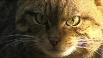 Wildcat conservation plans 'at risk'