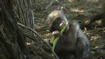 Baboons 'form orderly queues'