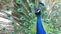 How peacocks are terrorising a Co. Durham village.