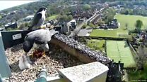 Peregrine falcons' clutch hatches