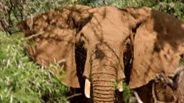 Elephants with an appetite for bird nests