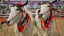 India's bovine beauties