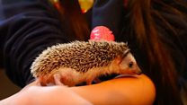 The hedgehog cafe has been a huge hit with locals