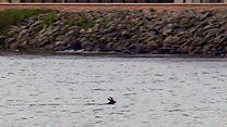 Deer filmed swimming in Inverness river