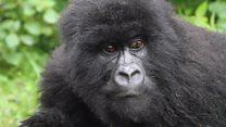 Gorilas selvagens viram atração turística em Ruanda
