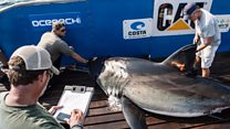 Hunting sharks -- for science