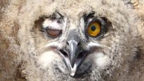 When eagle owl chick met a human