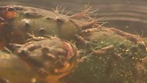 Crayfish and worm: doomed old friends?
