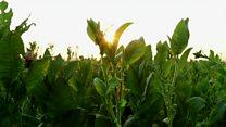 The leaf making Indonesia's children sick