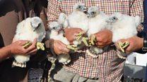 Tower block falcon chicks ringed