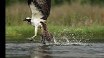 Vídeo mostra luta entre truta e águia pescadora