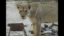 Turistas relatam encontro com leões em acampamento em Botsuana