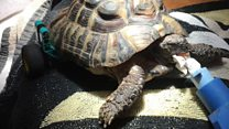 Tortoise has wheely good toy leg