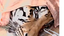 Tigers seized in Thailand