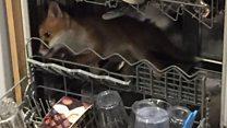 Vet finds fox in dishwasher in London