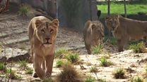 Así son las lujosas cabañas para dormir con los leones en Londres
