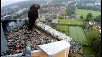 Peregrine chicks taken into 'protective custody'