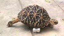 The world's fastest tortoise?
