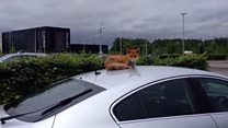 Glasgow fox basks on a car roof