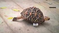 La tierna tortuga a la que le faltan dos patas pero corre a la velocidad del rayo