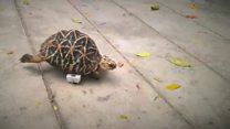 Tartaruga amputada ganha 'rodas' e fica mais rápida do que nunca