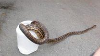 Australian woman wakes to python