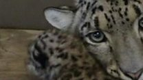 Snow leopard cubs born in US zoo