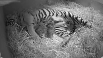 Tiger twins on cubcam