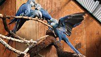 Lavradoras se emocionam ao avistar ararinha-azul livre