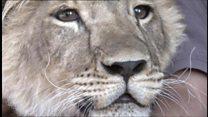 A leoa que 'trabalha' como pastora de ovelhas na Rússia