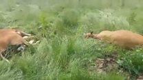 Irish army shoot cattle on Monaghan farm