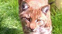 Drone video 'shows escaped lynx'