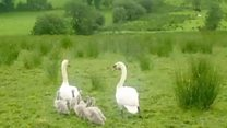 Anger at driver who killed five cygnets in Fermanagh