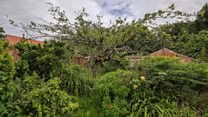 'Mother' of Bramley apple trees dying